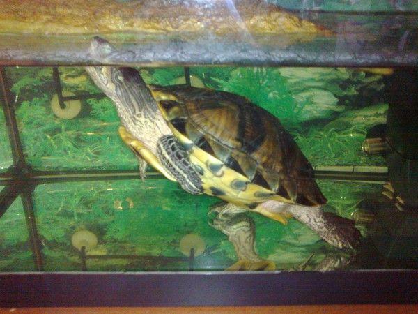 Ma tortue aquatique for Aquarium tortue